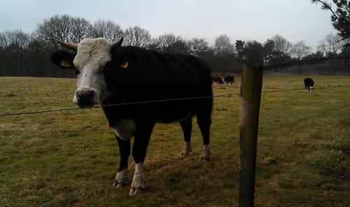 Het weiland waaruit de koe ontsnapte.