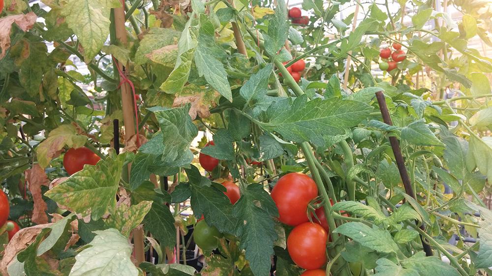 De tomaten doen het goed in de maan- en Marsbodem. Foto: Reinier Vermeer.