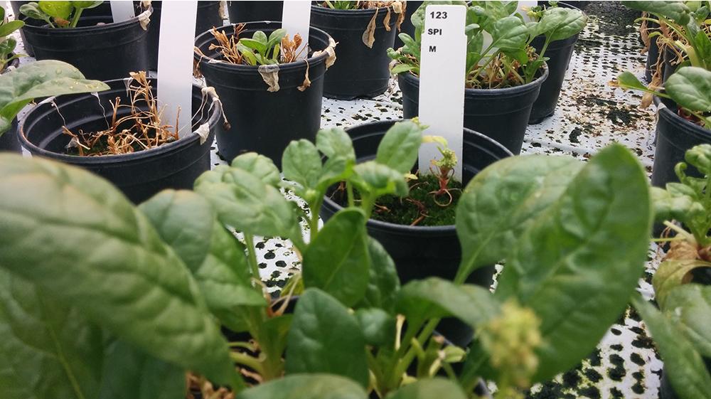 Alleen de spinazie wil nog niet zo. Foto: Reinier Vermeer.